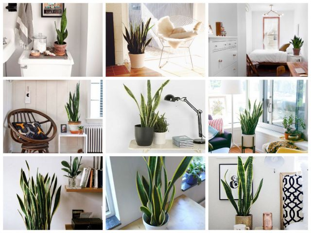 snake plant collage